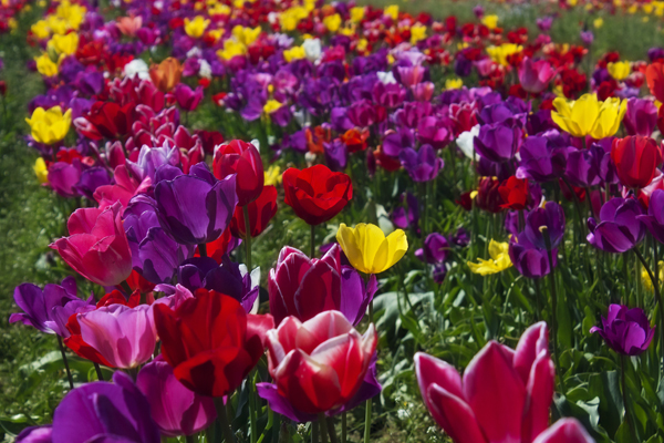 Choosing a color scheme for your Myrtle Beach flower garden is similar to choosing a color scheme when painting rooms in your home.