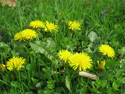 Dandelions may not harm your Myrtle Beach area yard.